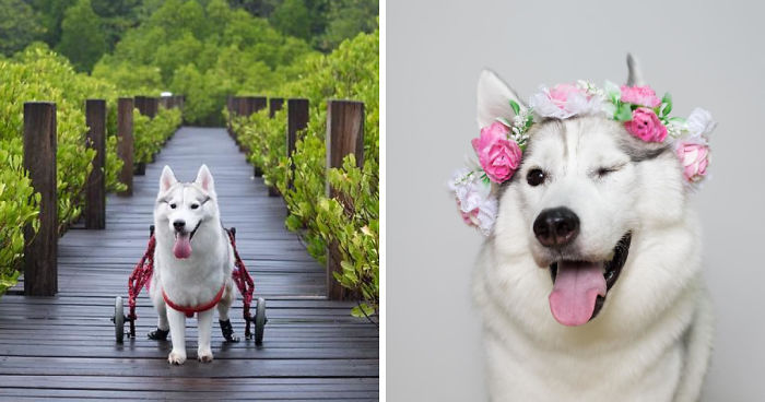 Meet Maya, A Husky Born Without Paws Who Is Now The Happiest Pup In A Wheelchair
