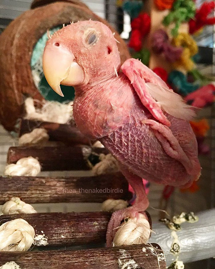 featherless-lovebird-boston-29