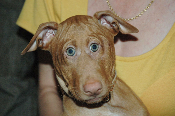 Pharaoh Hound Puppy