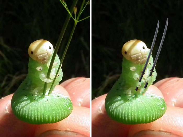 Caterpillar Holding Blade Of Grass Sparks Photoshop Battle