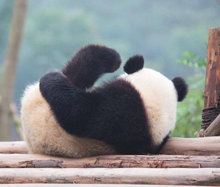 giant-panda-no-longer-endangered-1
