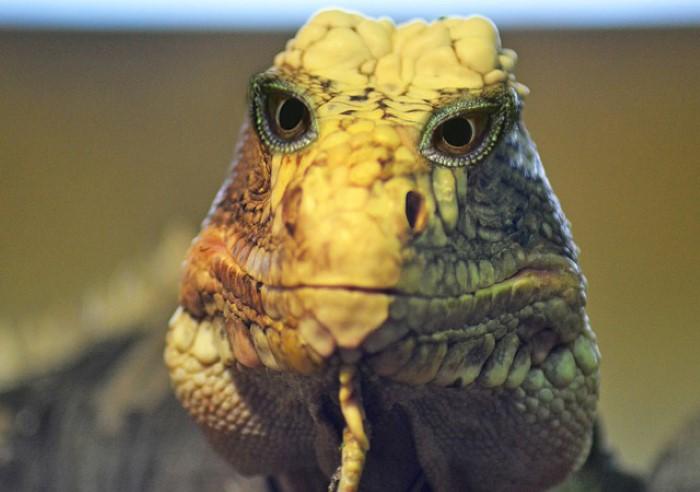 Iguana Lizard