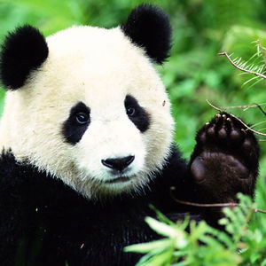 Sarah The Panda
