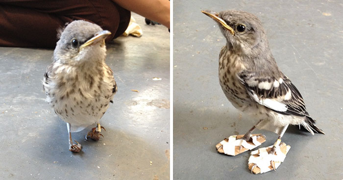 Little Injured Bird Receives Tiny 'Snowshoes' And Gets Back On Her Feet