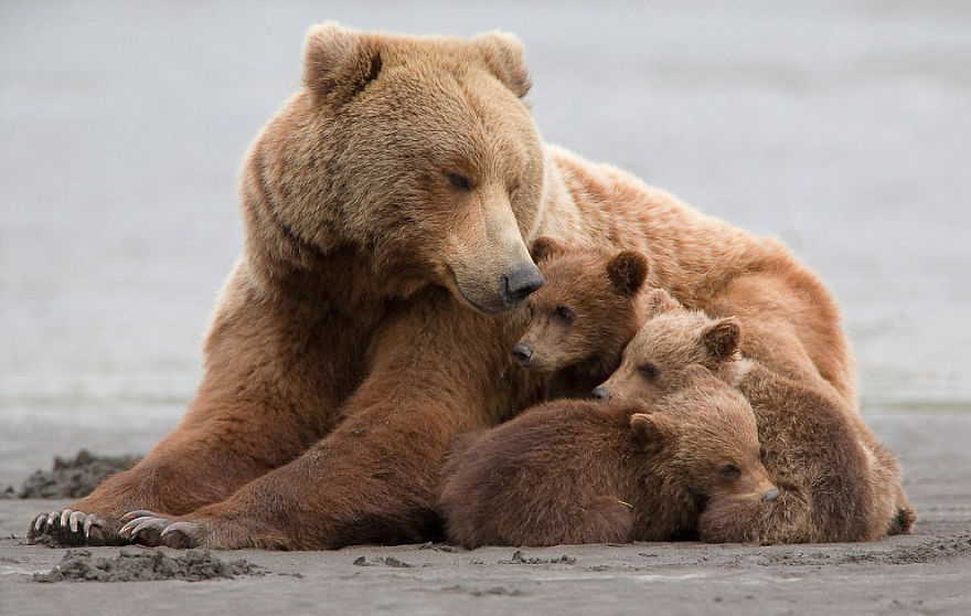 Momma Bear With Her Cubs