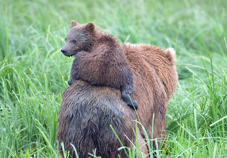 Mom And Baby Coastal Brown Bear