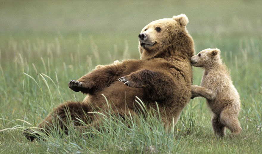 Bear Cub Playing With Momma Bear