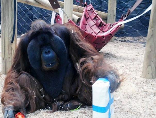 orangutan-kisses-pregnant-woman-baby-bump-1