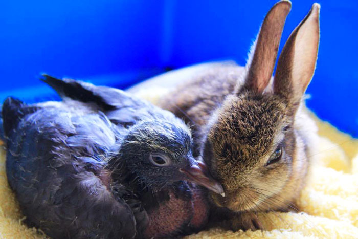 rabbit-pigeon-snuggling-together-1