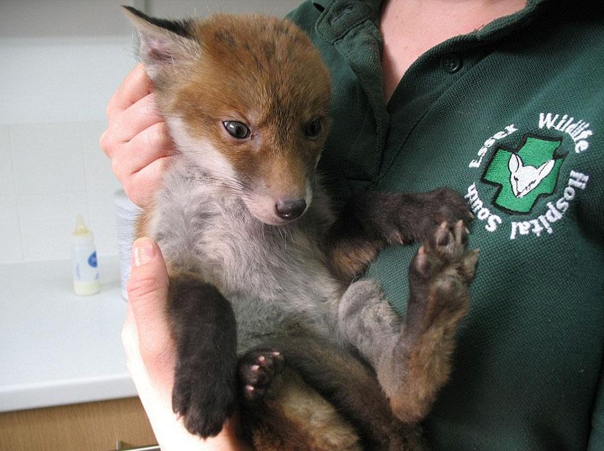 rescued-fox-muddsey-1