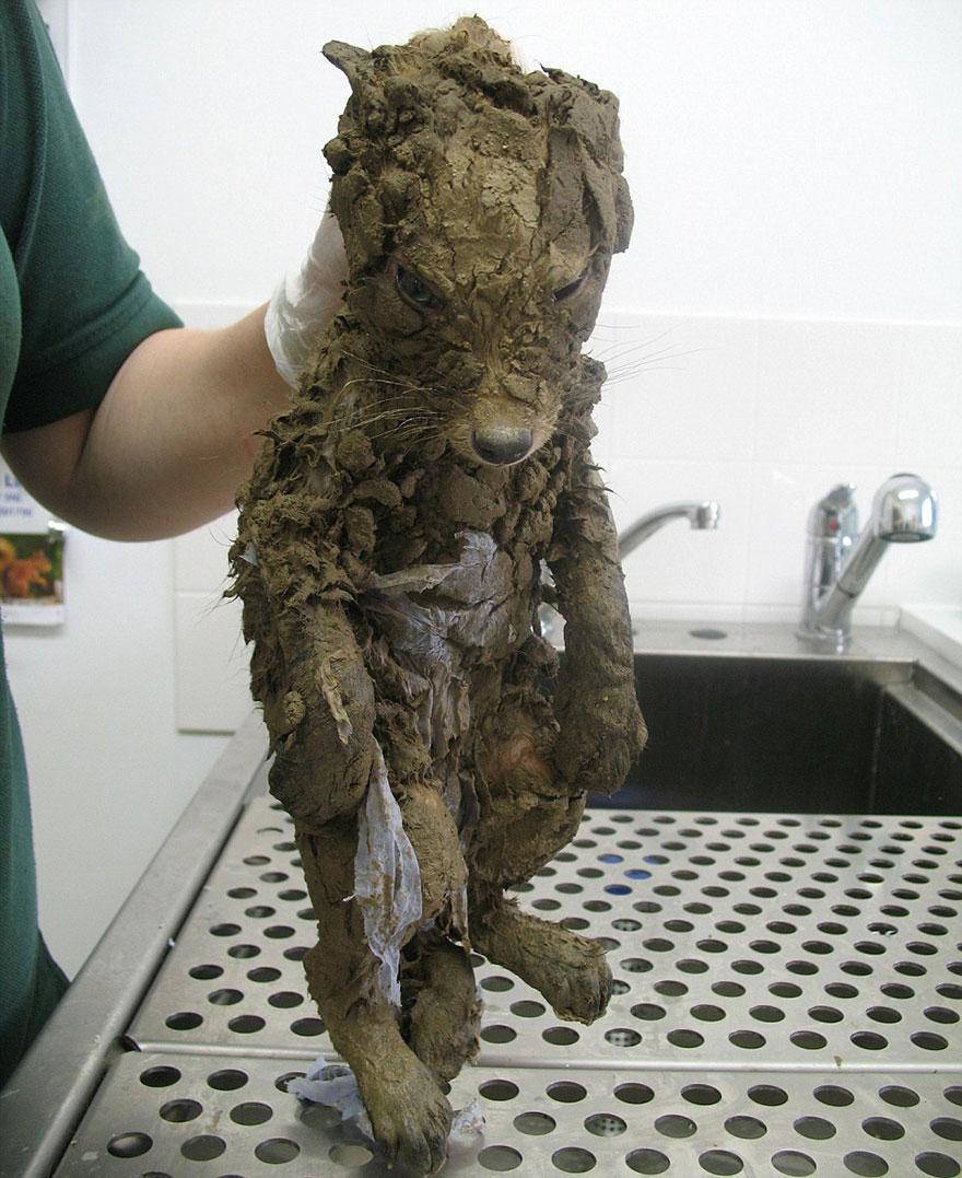 rescued-fox-muddsey-2a