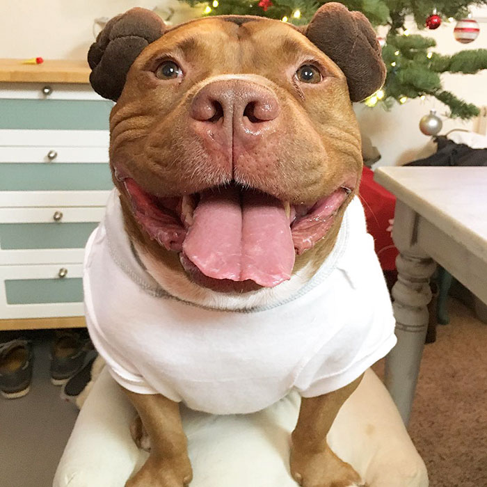 rescued-smiling-pitbull-meaty-26