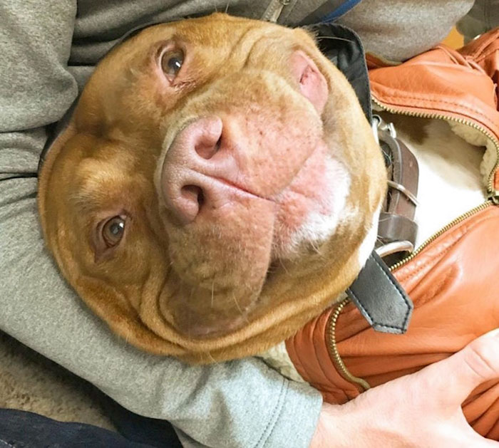 rescued-smiling-pitbull-meaty-4
