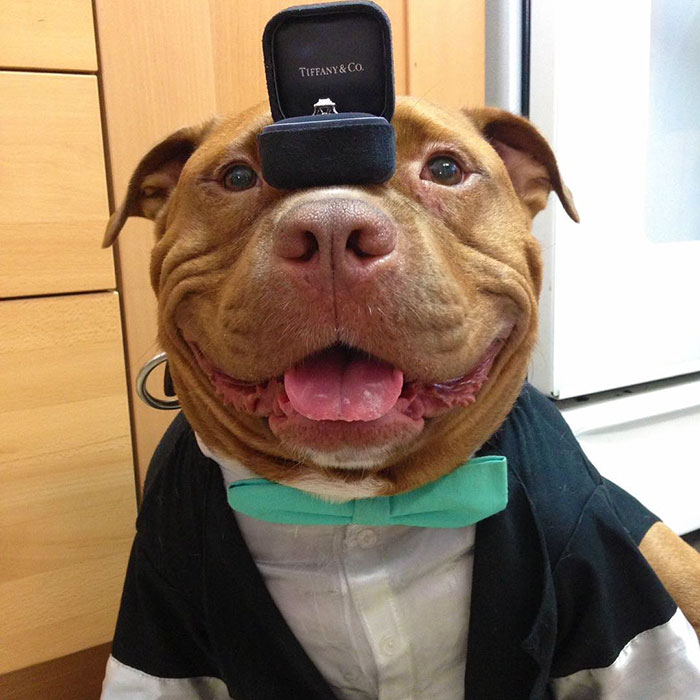 rescued-smiling-pitbull-meaty-9