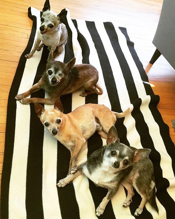 senior-dog-adoption-chihuahua-julie-docherty-1