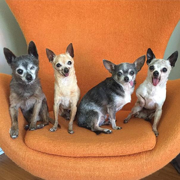 senior-dog-adoption-chihuahua-julie-docherty-11