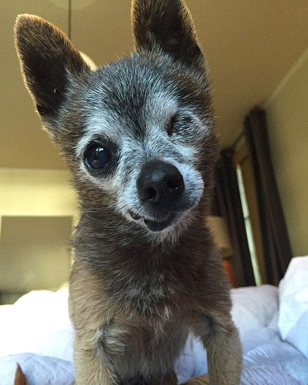 senior-dog-adoption-chihuahua-julie-docherty-25