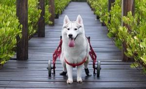 Husky Born Without Paws Gets Adopted And Becomes The Happiest Pup In A Wheelchair