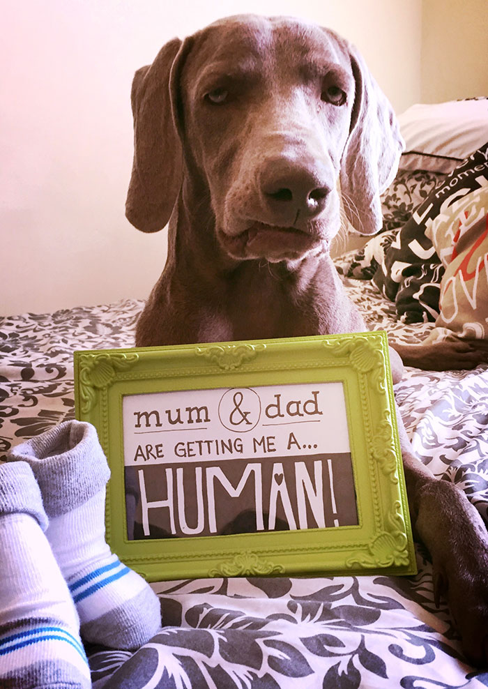 unexcited-dog-newborn-weimaraner-1