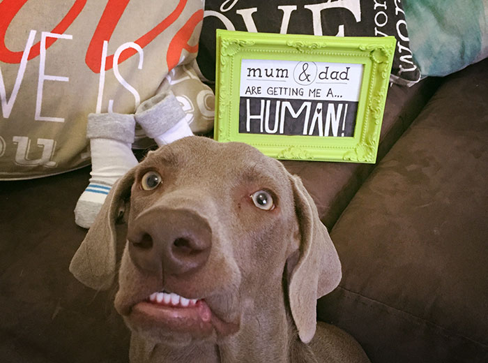 unexcited-dog-newborn-weimaraner-3