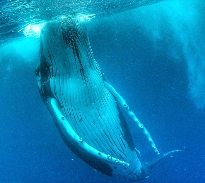 whale-photobomb-diver-will-rosner-australia-11