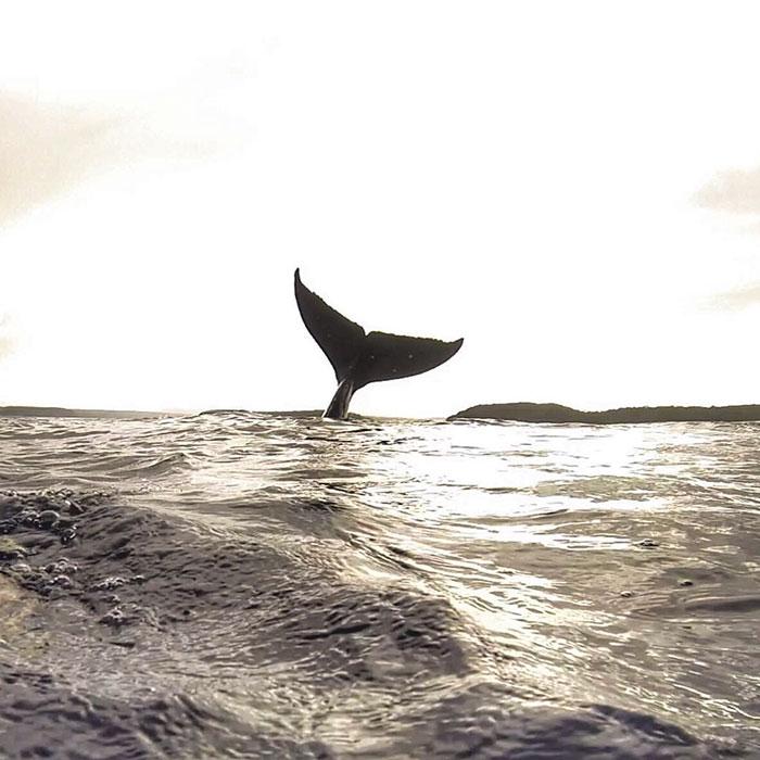 whale-photobomb-diver-will-rosner-australia-13