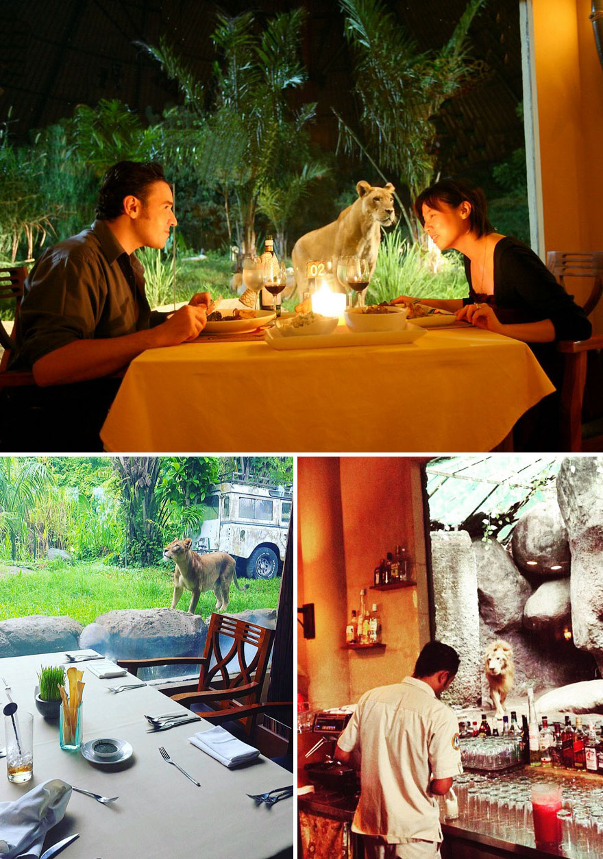 Tsavo Lion Restaurant In Bali Allows You To Have A Dinner In The Company Of Lionss