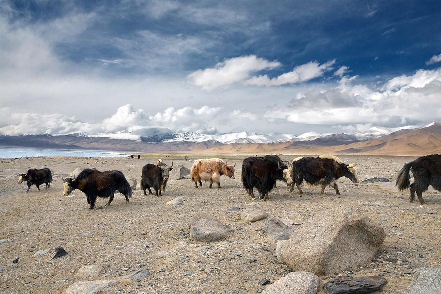 Yaks Wander In The Pamir Mountains In Eastern Tajikistan