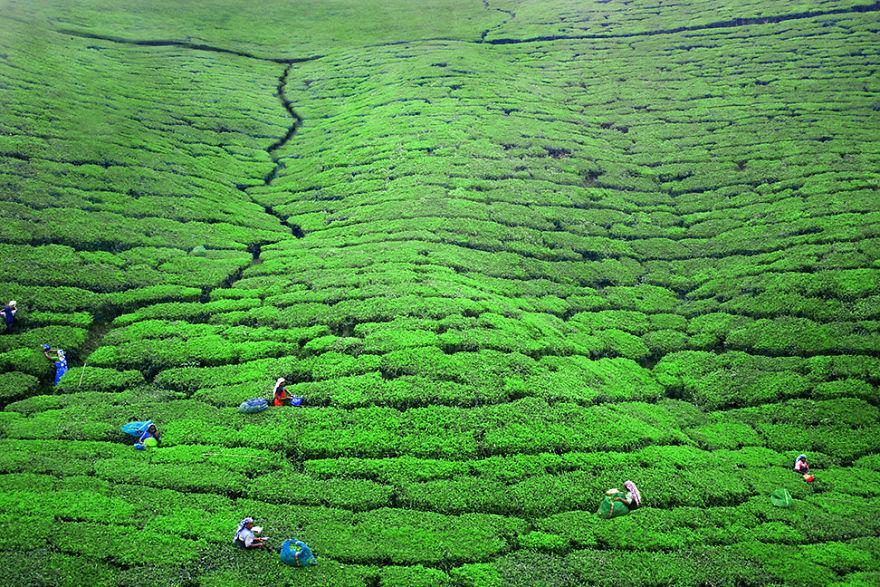 Women Are Working In The Tea Plantations Near Nuwara Eliya, Sri Lanka