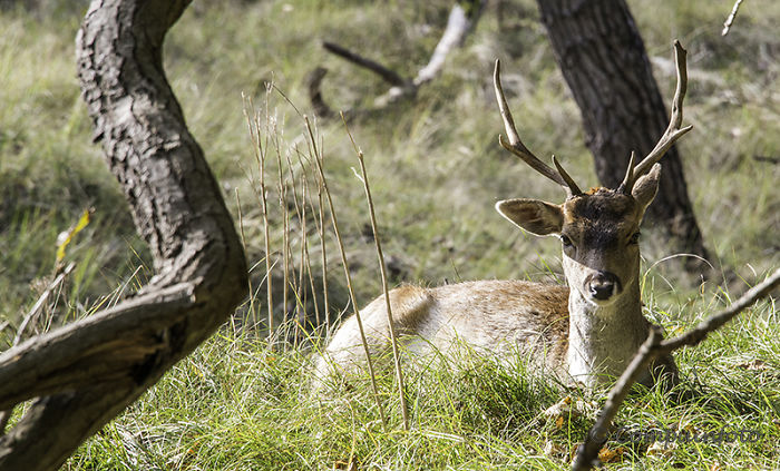 Fallow Deers In The Wild In Holland
