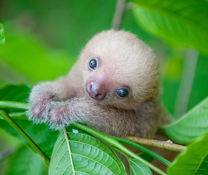 100 Unbearably Cute Sloth Pics To Celebrate The International Sloth Day Bored Panda