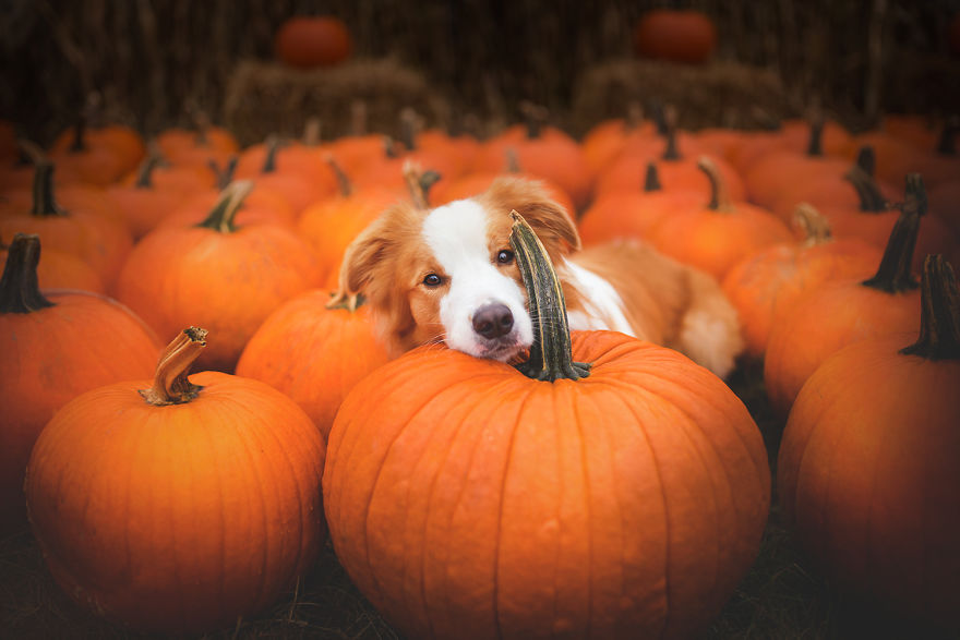 Can Dogs Have Pumpkins