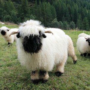 Valais-blacknose-sheep-4-5810a84a62af5-p