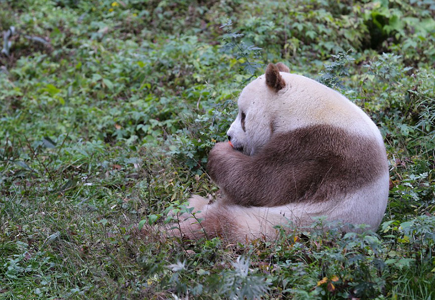 abandoned-brown-panda-qizai-2