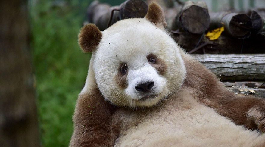 the world s only brown panda who was abandoned as a baby finally