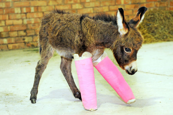 Meet Primrose - Premature Baby Donkey Who Is Getting Her Legs Straightened With Casts