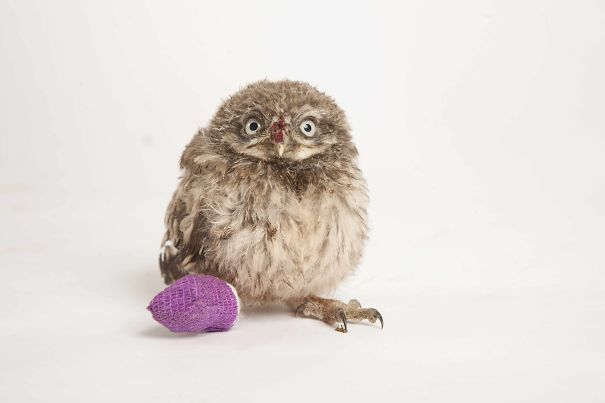 Baby Owl With Tiny Bandage After A Fall From Tree In Oxford