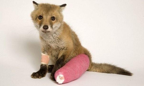 Baby Fox In Cast