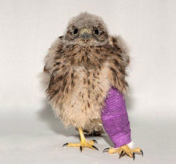Kevin The Little Kestrel Is On Track To Make A Speedy Recovery