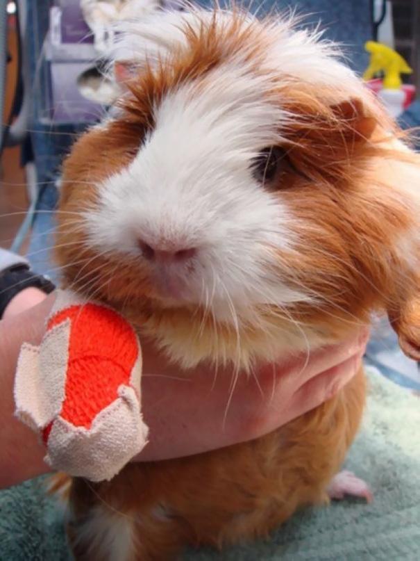 Guinea Pig In Cast