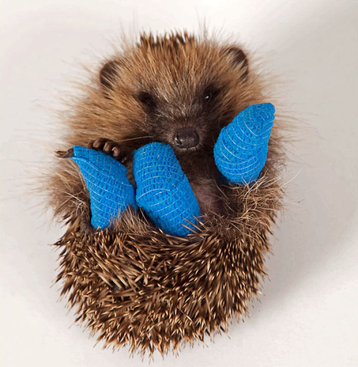 This 10-Week-Old Baby Hedgehog Is Recovering At Hospital In Bucks After He Was Found In Ruislip, Middlesex, Last Sunday With Three Broken Legs