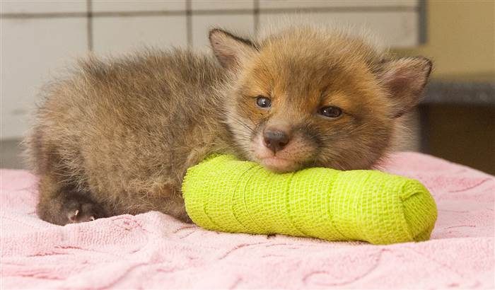 Little Fox In Cast