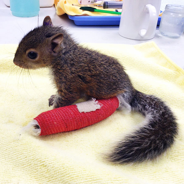 This Poor Baby Squirrel Fell Out Of A Tree, And Had To Get A Tiny Cast On His Leg. He's Doing Well