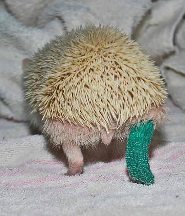 Cute Hedgehog In Cast