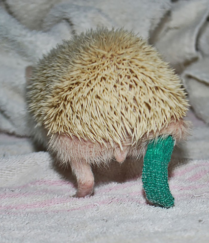 Cute Hedgehog In Cast