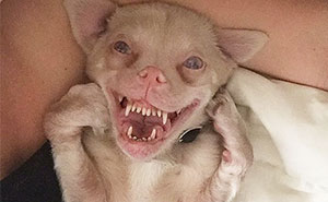 A Bat-Dog With Special Needs Is Taking Over The Instagram