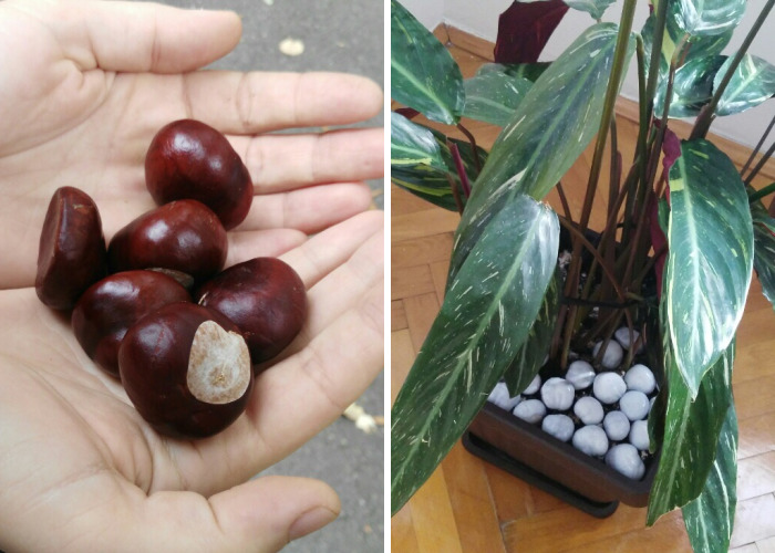 We Have Collected Chestnut To Decorate Our Flowers