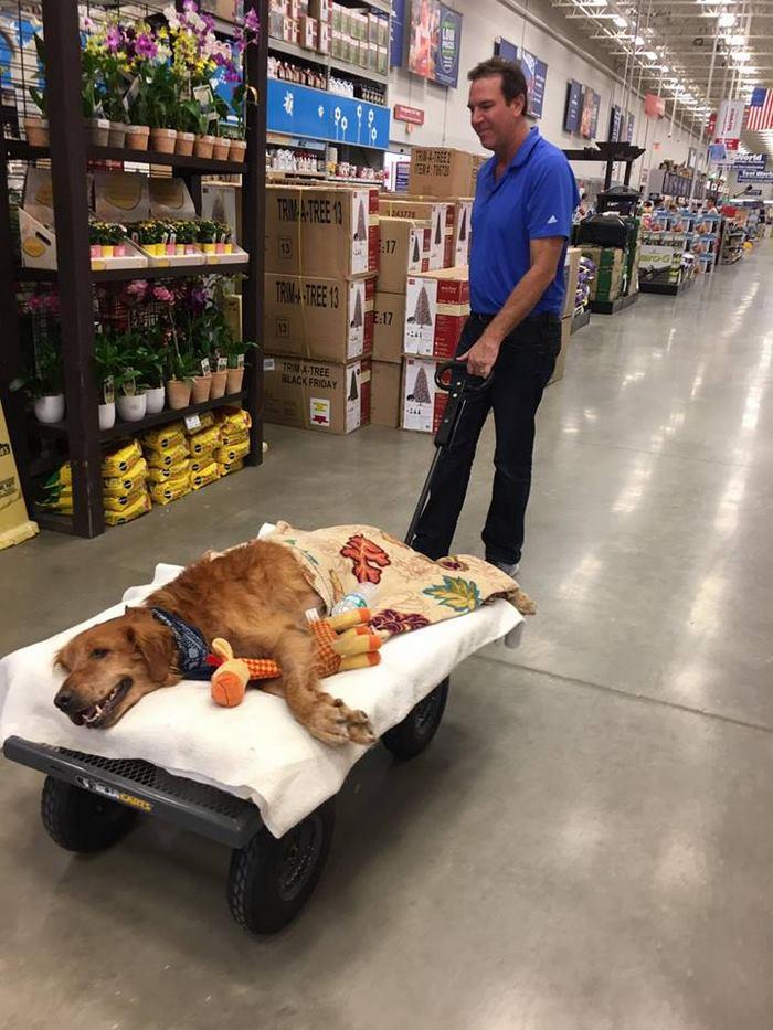 crippled-dog-rides-wagon-lymphoma-maverick-12