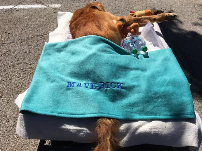 crippled-dog-rides-wagon-lymphoma-maverick-2