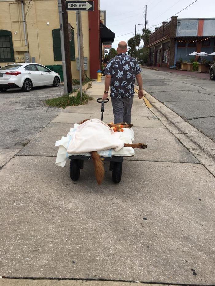 crippled-dog-rides-wagon-lymphoma-maverick-4